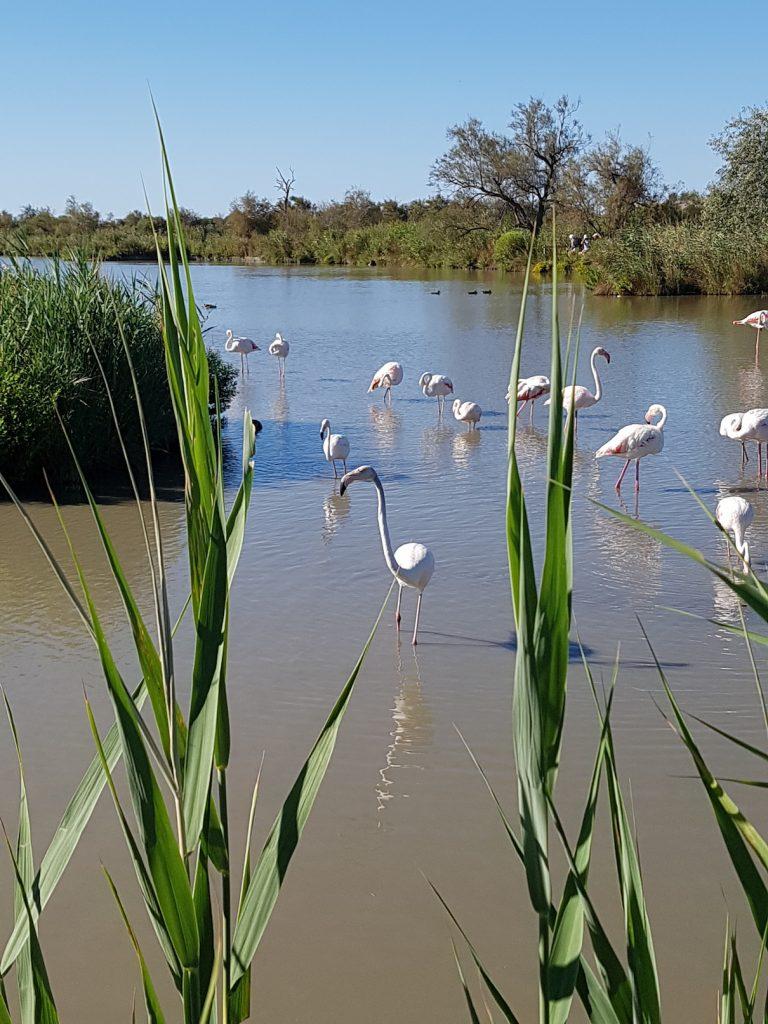 Camargue Horses - Camargue France - Flamingoes