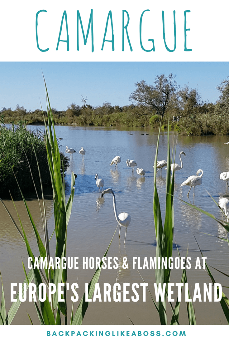 Camargue horses in France
