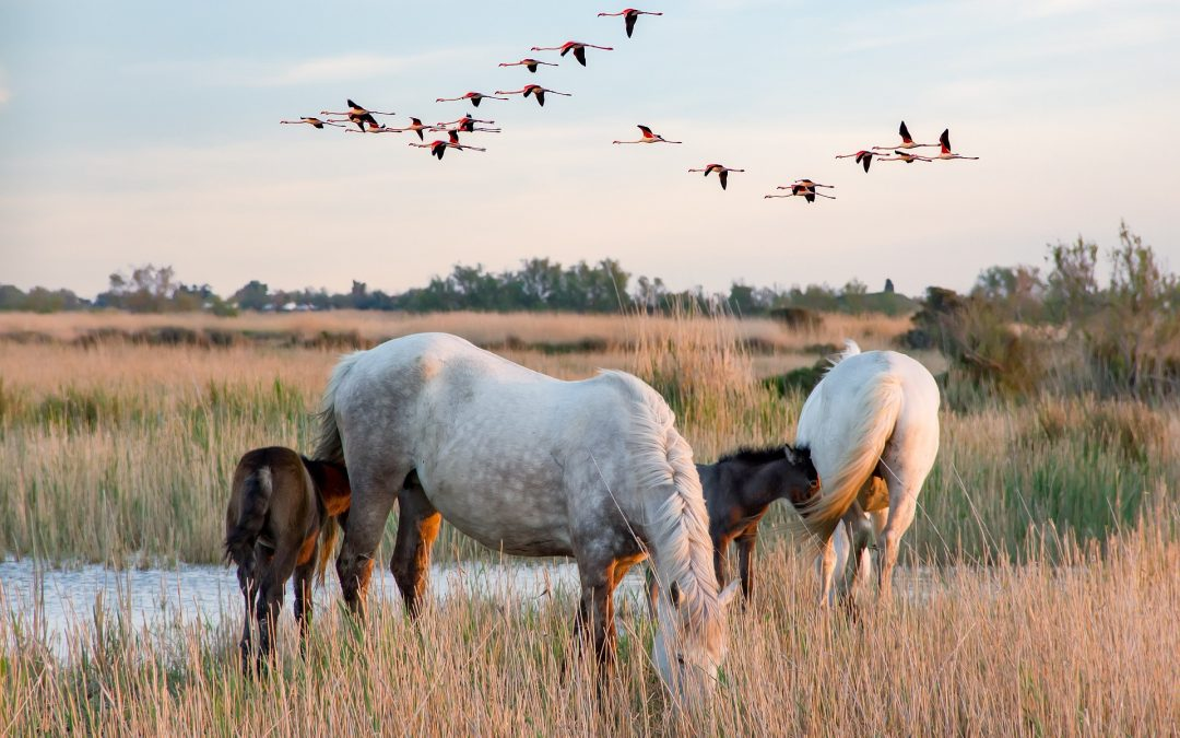 Camargue Horses and Pink Lakes – Exploring the Stunning Camargue and Aigues Mortes